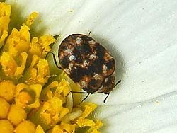Carpet-Beetle-Extermination